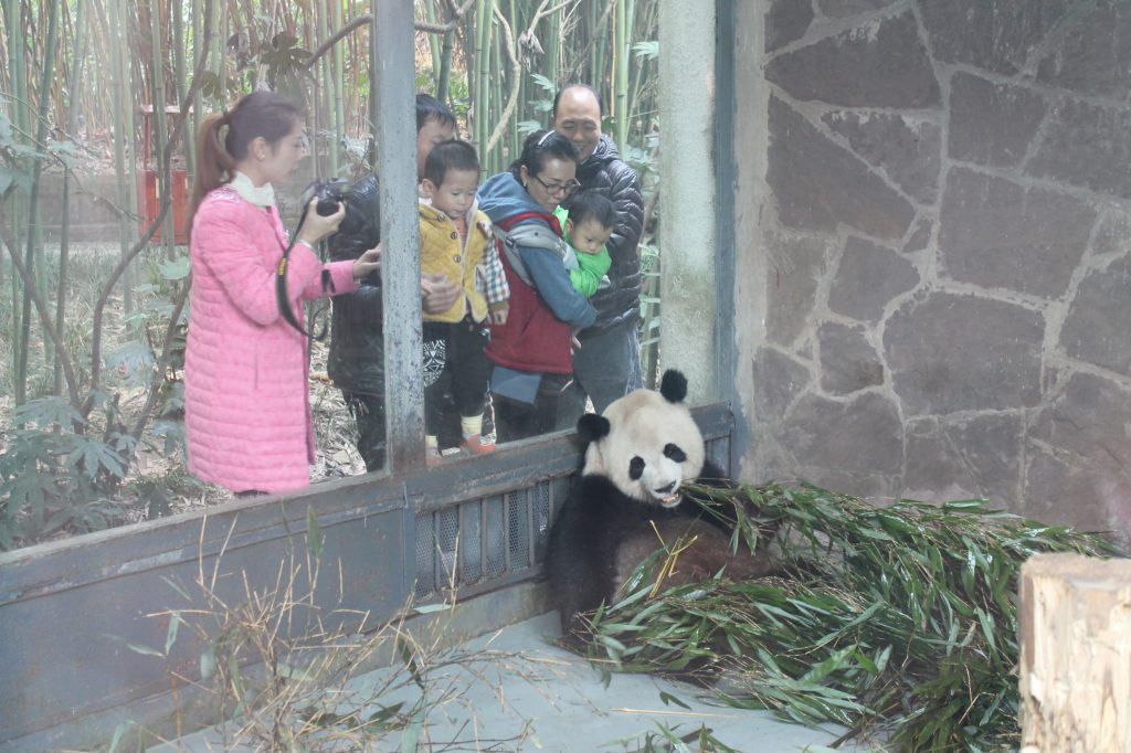 Panda enclosure in Chengdu, Sichuan
