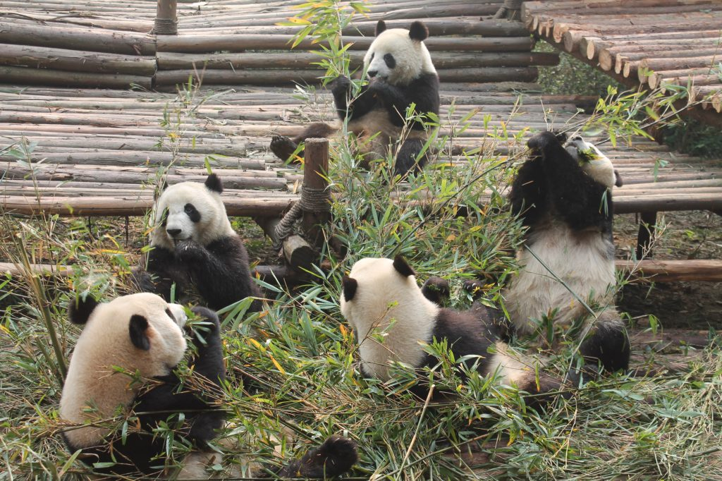 Panda bears, very busy